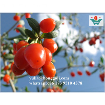 New+Crop+Dried+Goji+Berry+Organic+Good+Price